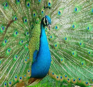 شگفتي آفرينش با طاووس