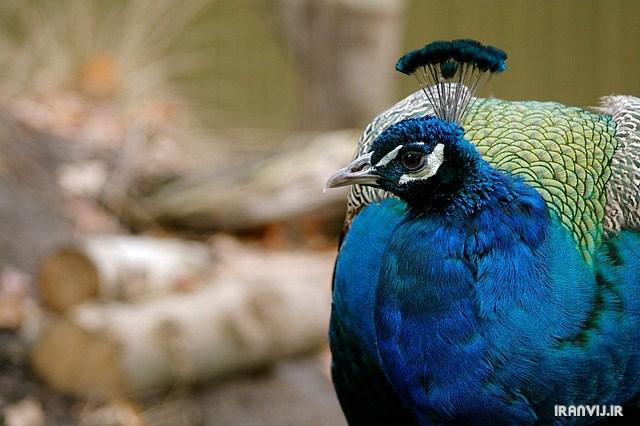 تصاوير شگفتي آفرينش با طاووس